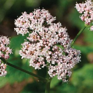 Valerian Essential Oils